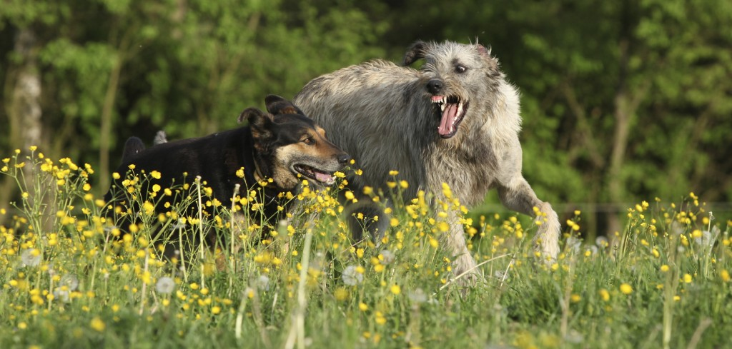 Two dogs fighting with each other in yellow flowers