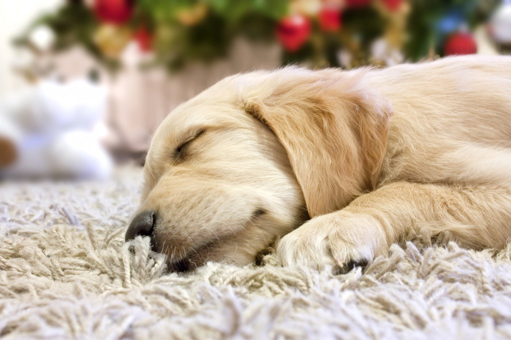 puppy golden retriever asleep