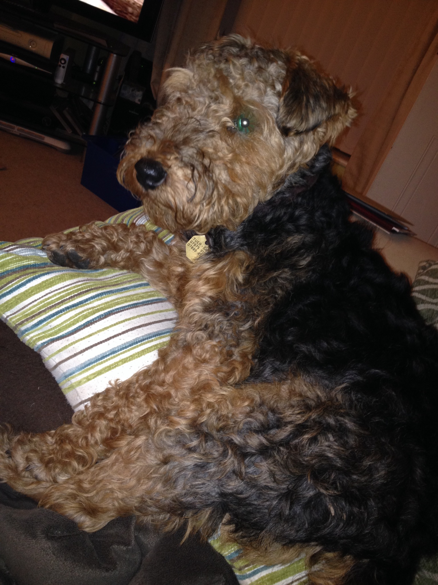 The Case of the Feisty Welsh Terrier – Aggression Enhances Aggression