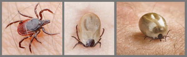 Sheep/deer tick feeding - ©BADA-UK