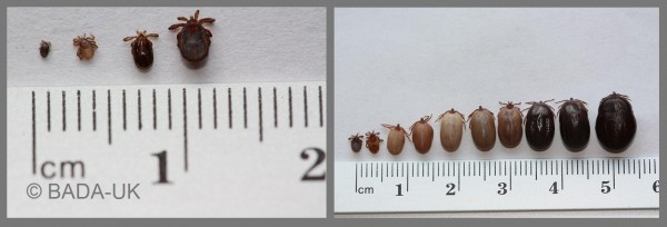 Tick sizes ©BADA-UK