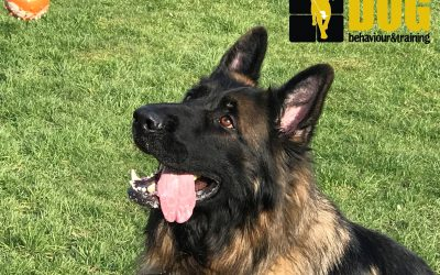 The Case of the Aggressive German Shepherd Dog (GSD)